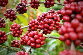 café fruta